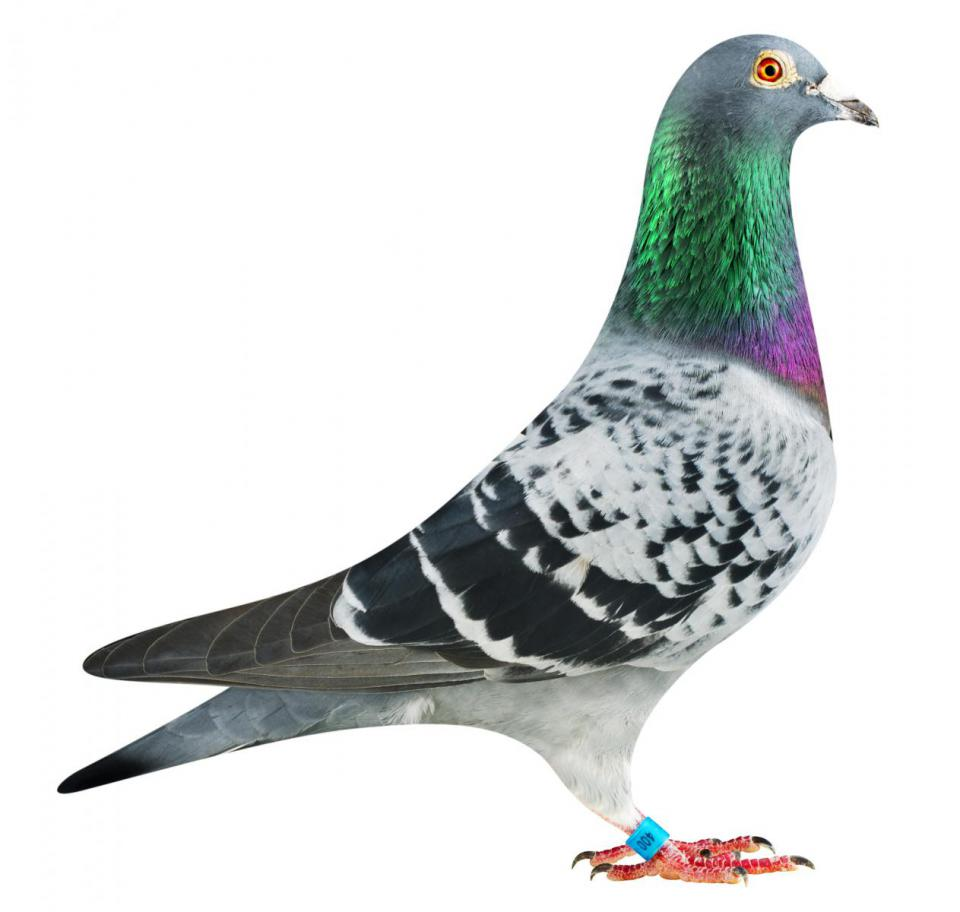 "Picture of pigeon PL0264-13-400 ""Olympic Elektro"""
