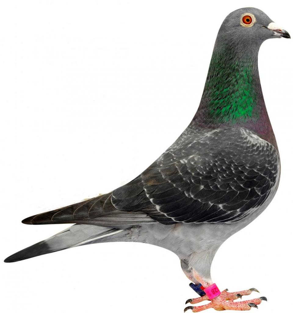 "Picture of pigeon BE08-6144028 ""Dina"""
