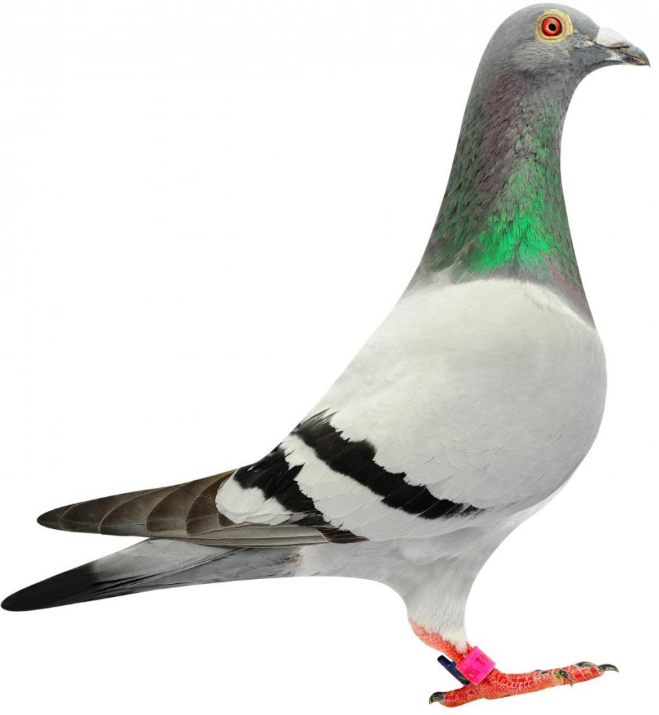 "Picture of pigeon B08-6144041 ""Mambo"""