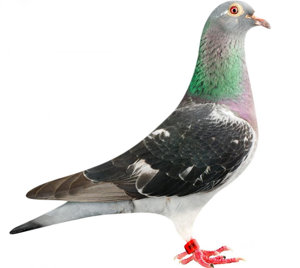 "Picture of pigeon BE12-6196004 ""Doha"""