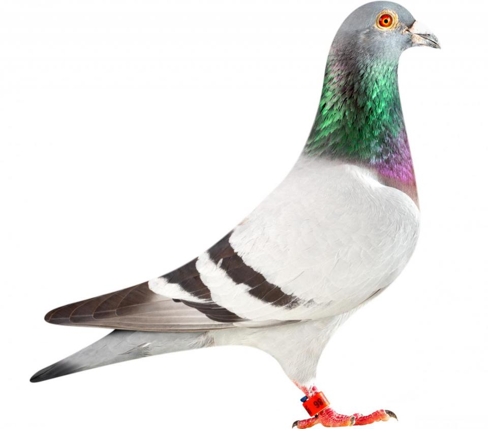 "Picture of pigeon BE12-6196286 ""Loki"""