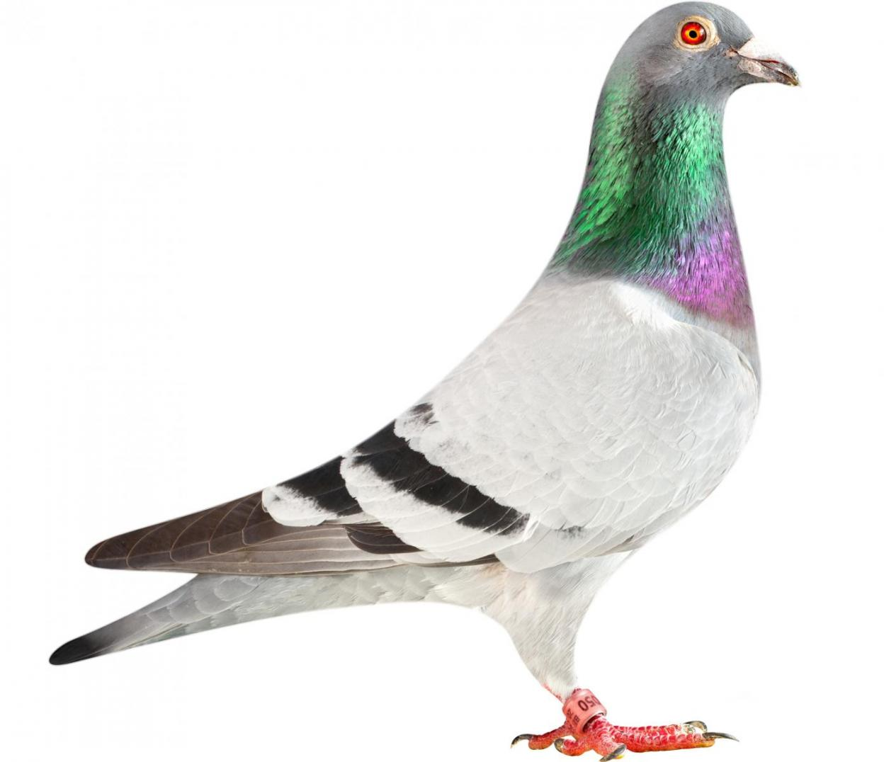 "Picture of pigeon BE13-6026050 ""Origi"""