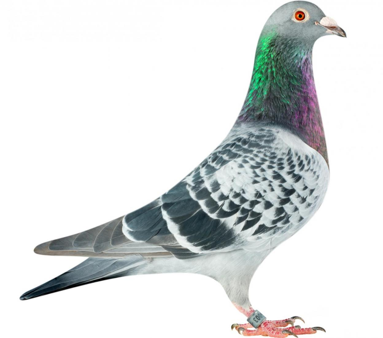 "Picture of pigeon B15-6026003 ""Zorro"""