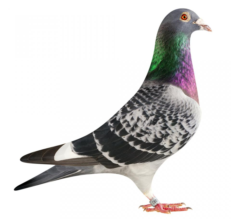"""Picture of pigeon BE15-6026082 """"Samsung"""""""
